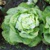 lettuce - salata verde.jpg